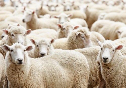 herd of sheep wool felt